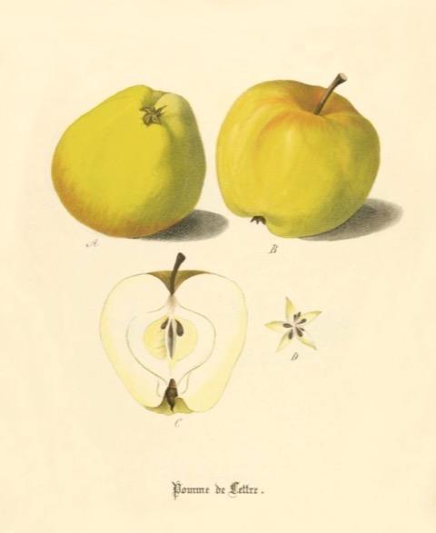Historische Abbildung zweier gelblicher und eines aufgeschnittenen Apfels; BUND Lemgo Obstsortendatenbank