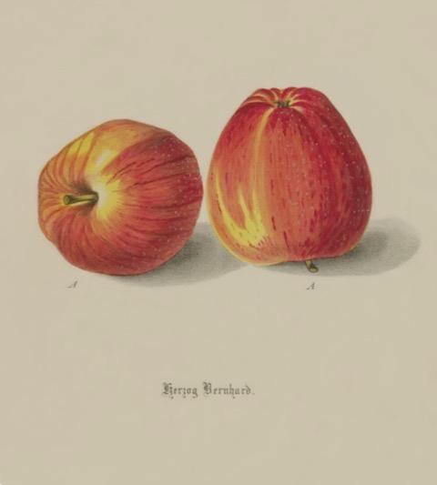Historische Abbildung zweier rot-gelblicher Äpfel;  BUND Lemgo Obstsortendatenbank