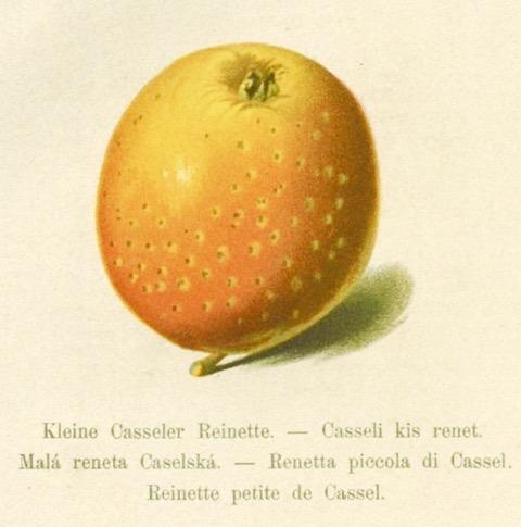 Historische Abbildung eines gelblich-orangen Apfels; Bund Memgo