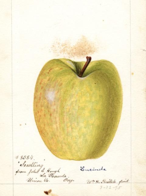 Historische Abbildung eines gelblich-grünen Apfels; USDA