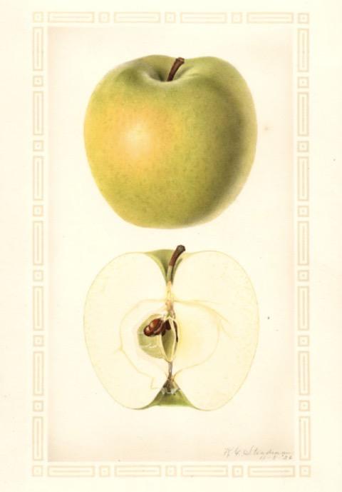 Historische Abbildung eines gelb-grünlichen und eines aufgeschnittenen Apfels; USDA
