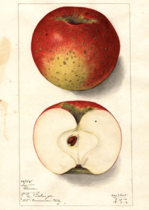 Historische Abbildung eines rot-grünlichen und eines aufgeschnittenen Apfels; USDA