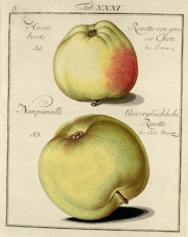 Historische Abbildung zweier grülicher Äpfel; BUND Lemgo Obstsortendatenbank