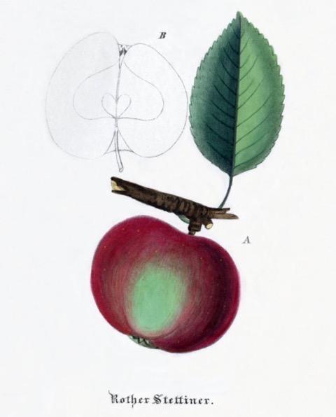 Historische Abbildung eines rot-grünen Apfels am Ast mit Blatt und eines aufgeschnittenen Apfels; BUND Lemgo Obstsortendatenbank