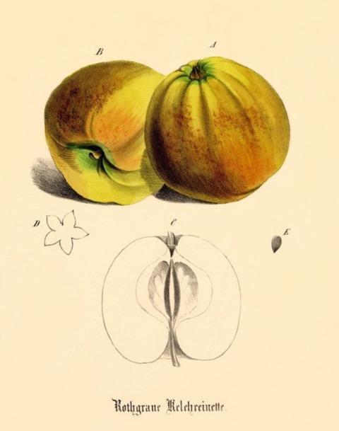 Historische Abbildung zweier gelblich-rötlicher und eines aufgeschnittenen Apfels; BUND Lemgo Obstsortendatenbank
