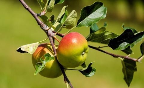 Zwei rotgrüne Äpfel an einem Zweig