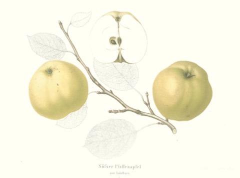 Historische Abbildung zweier gelblicher und eines aufgeschnittenen Apfels sowie ein Zweig und Blätter; BUND Lemgo Obstsortendatenbank