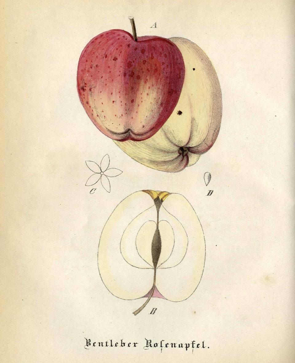 Historische Abbildung zweier gelblich-roter und eines aufgeschnittenen Apfels;