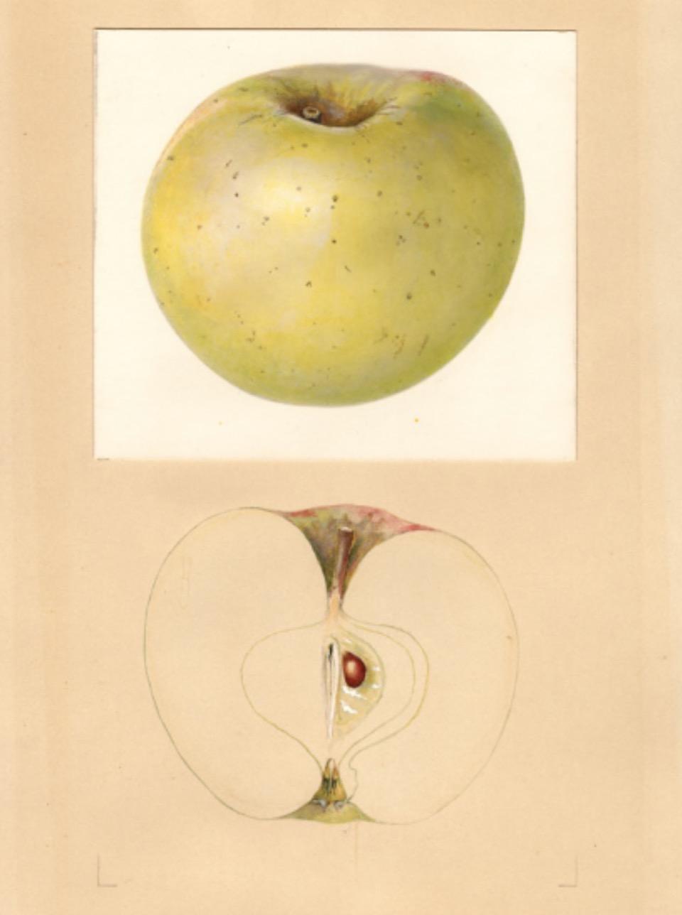 Historische Abbildung eines gelblich-grünnen und eines aufgeschnittenen Apfels; USDA