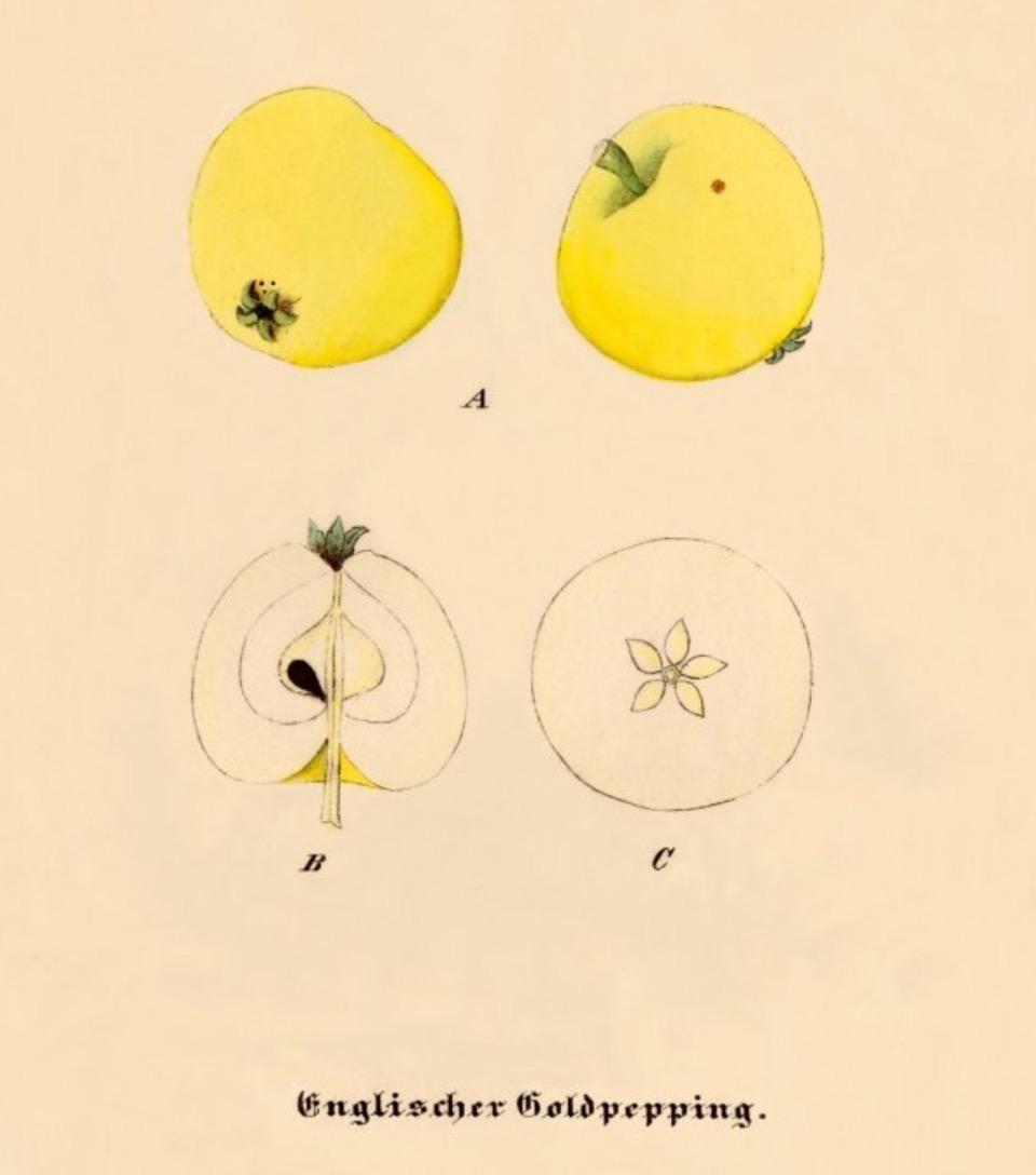 Historische Abbildung zweier gelblicher und zweier aufgeschnittener Äpfel; BUND Lemgo Obstsortendatenbank