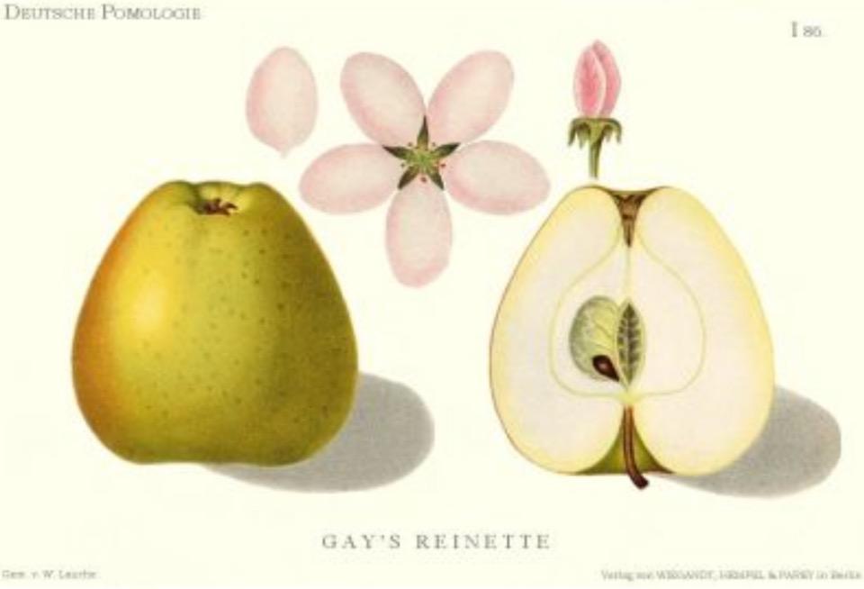 Historische Abbildung eines grün-rötlichen und eines aufgeschnittenen Apfels, dazu Blüte und Blätter;  BUND Lemgo Obstsortendatenbank
