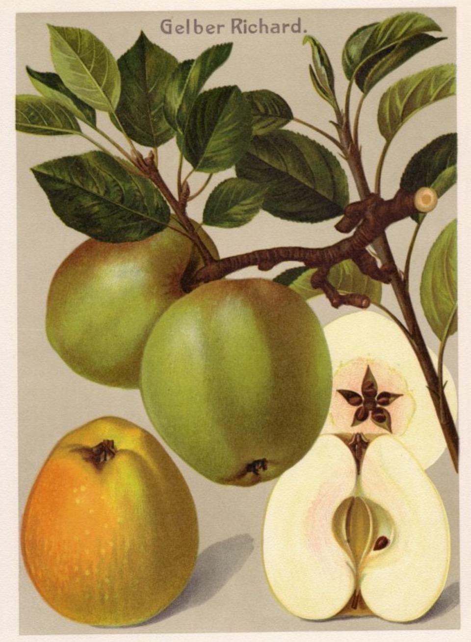 Historische Abbildung von grünen Äpfeln am Zweig, einem gelben Apfel und einem aufgeschnittenen Apfel; BUND Lemgo Obstsortendatenbank