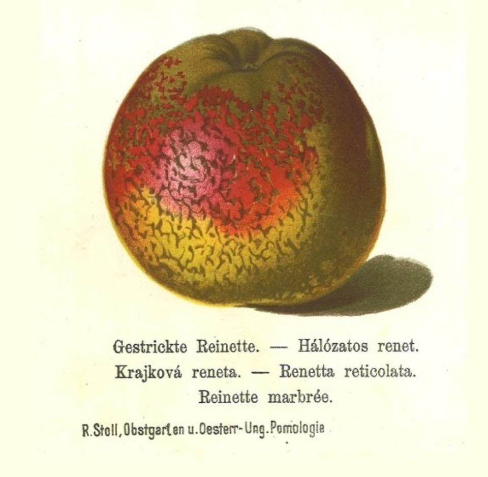 Historische Abbildung eines gelblich-rötlichen, stark gemusterten Apfels; Bund Lemgo