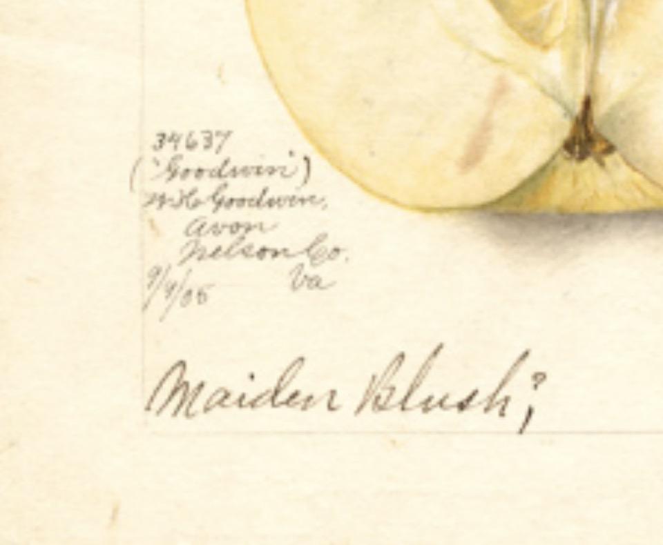 Detail der historischen Abbildung, in Bleistiftschrift steht dort unter anderem Maiden Blush