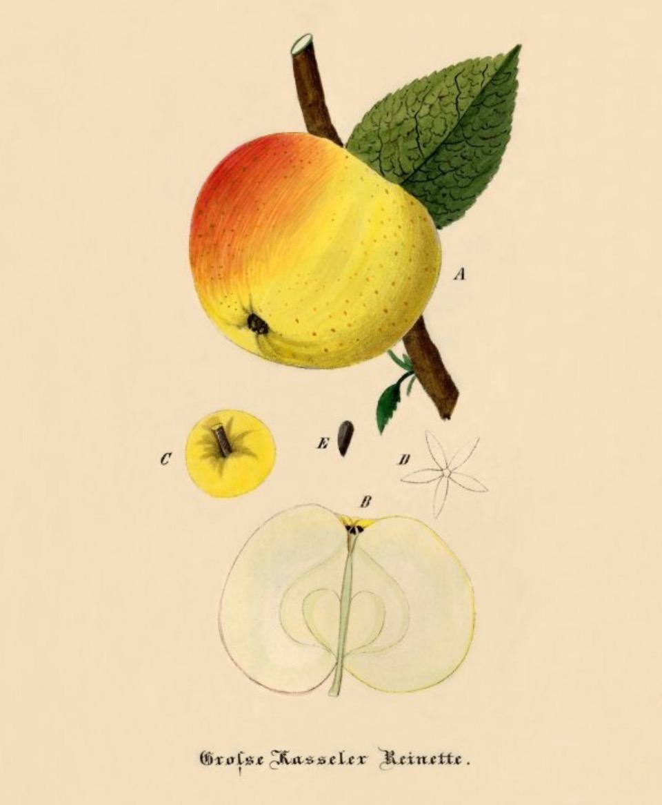 Historische Abbildung eines gelblich-rötlichen Apfels am Zwieg mit Blättern, ausßerdem der Kelch als Detail und ein aufgeschnittener Apfel; BUND Lemgo Obstsortendatenbank