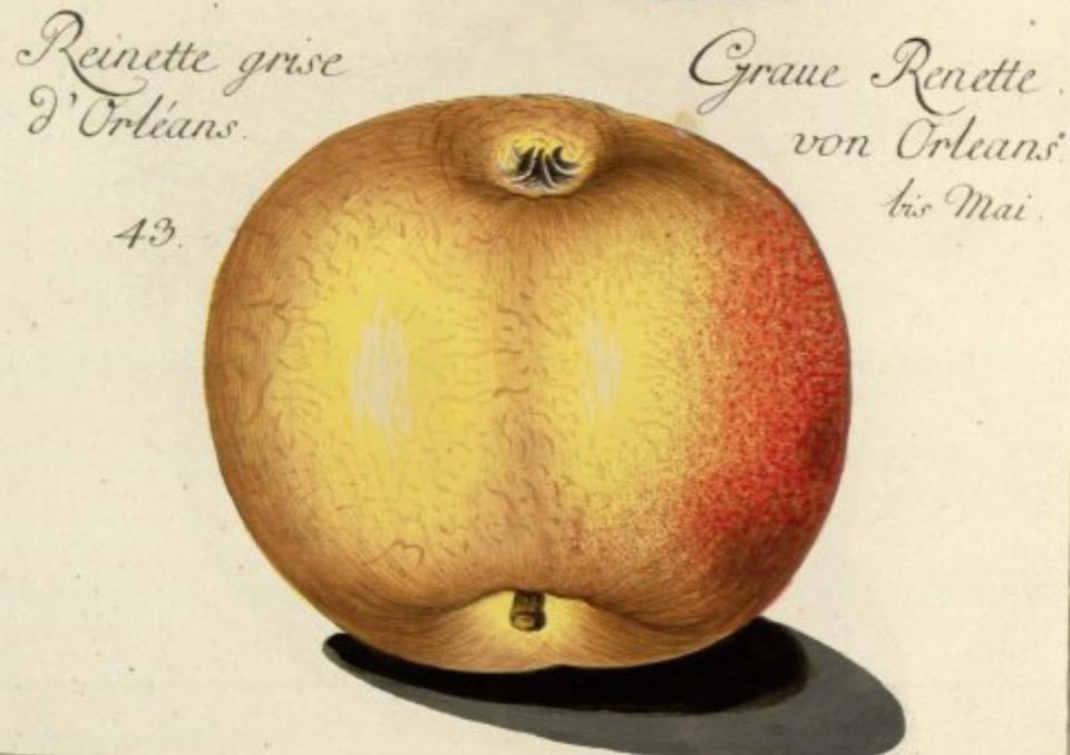 Historische Abbildung eines gelblich-rötlichen Apfels; BUND Lemgo Obstsortendatenbank