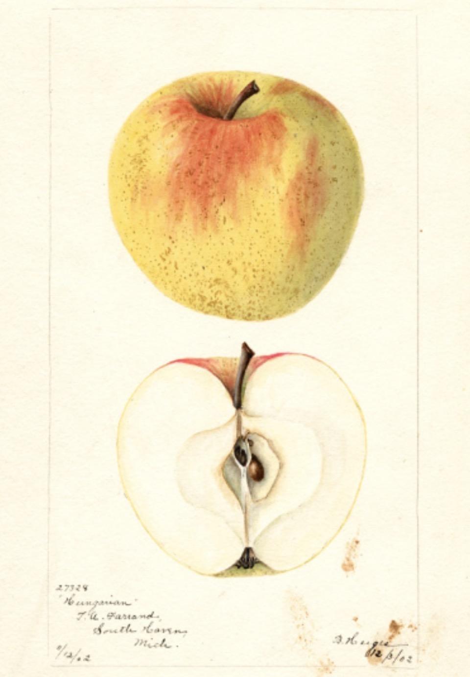 Historische Abbildung eines gelb-rötlichen und eines aufgeschnittenen Apfels; USDA