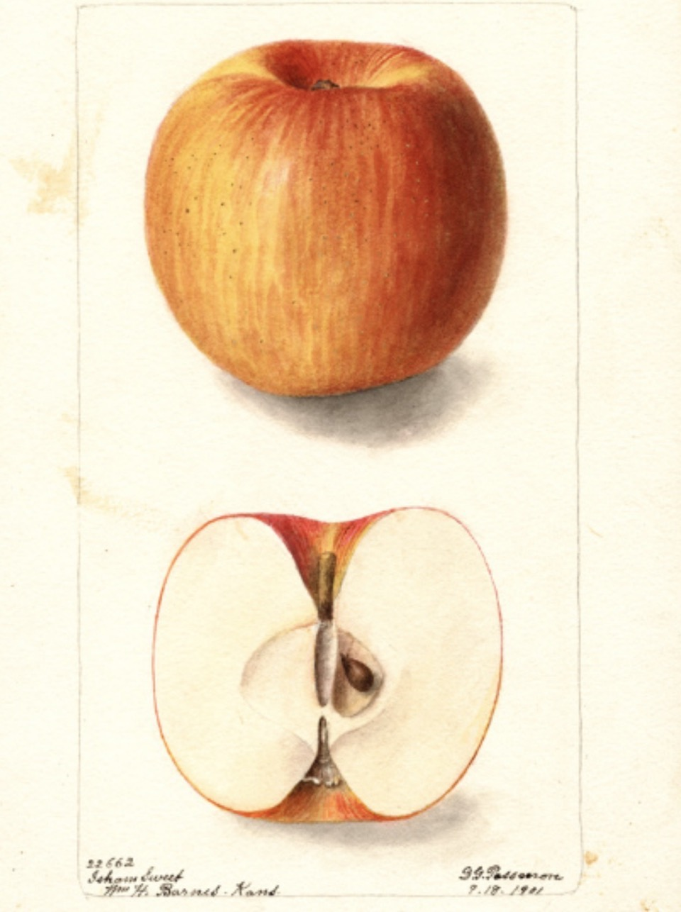 Historische Abbildung eines gelb-roten und eines aufgeschnittenen Apfels; USDA