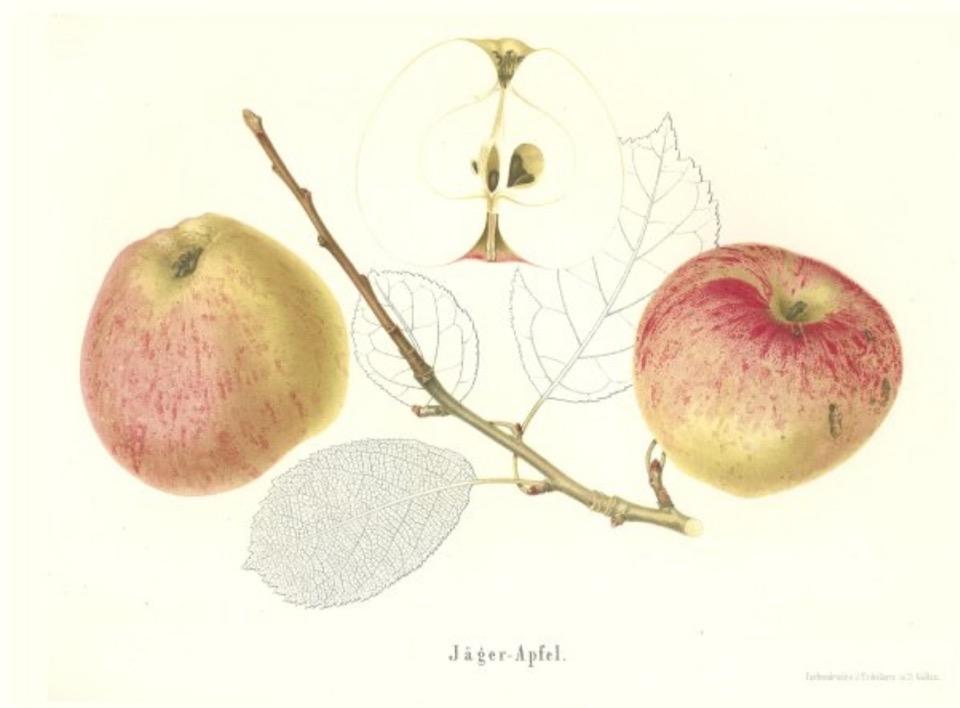 Historische Abbildung zweier gelblich-rötlichen und eines aufgeschnittenen Apfels sowie ein Zweig und Blätter; BUND Lemgo Obstsortendatenbank