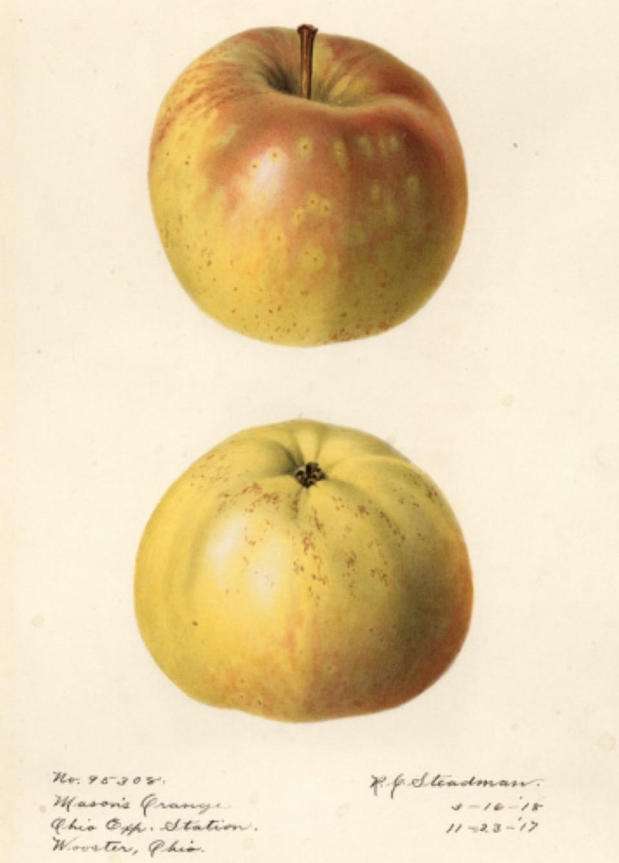Historische Abbildung zweier gelb-rötlicher Äpfel; USDA
