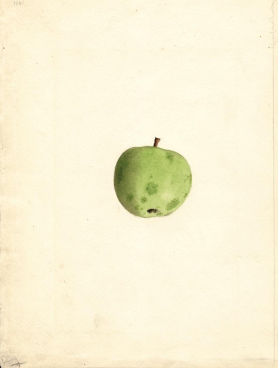 Historische Abbildung eines grünen Apfels; USDA