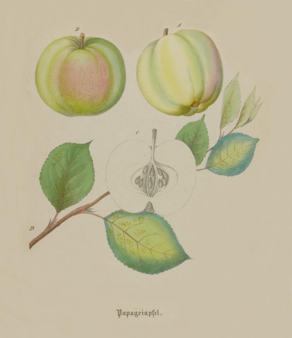 Historische Abbildung zweier gelb-grünlicher Äpfel und eines aufgeschnittenen Apfels, dazu ein Zweig mit Blättern; BUND Lemgo Obstsortendatenbank