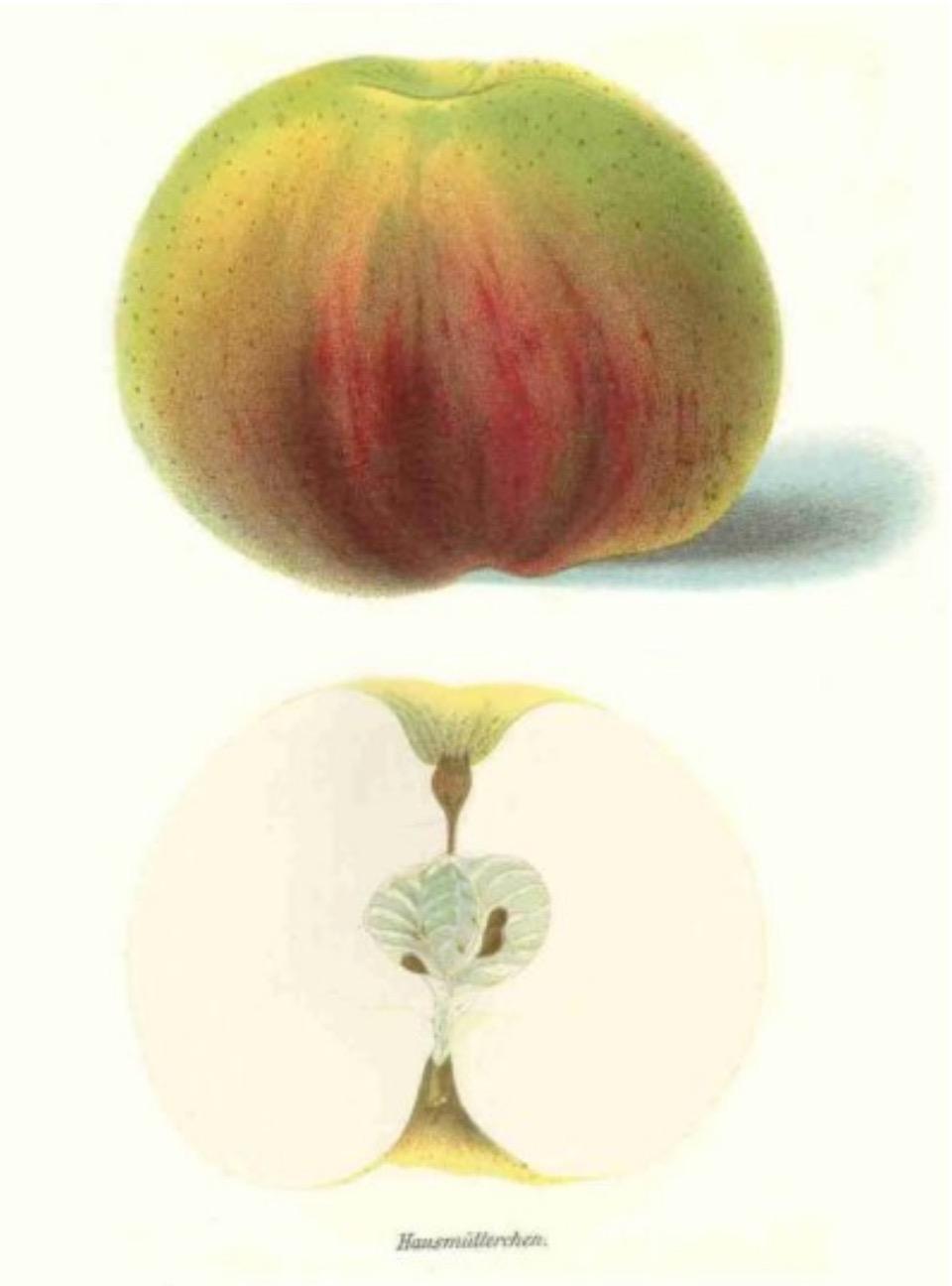 Historische Abbildung eines grünlich-rötlichen und eines aufgeschnittenen Apfels; BUND Lemgo Obstsortendatenbank