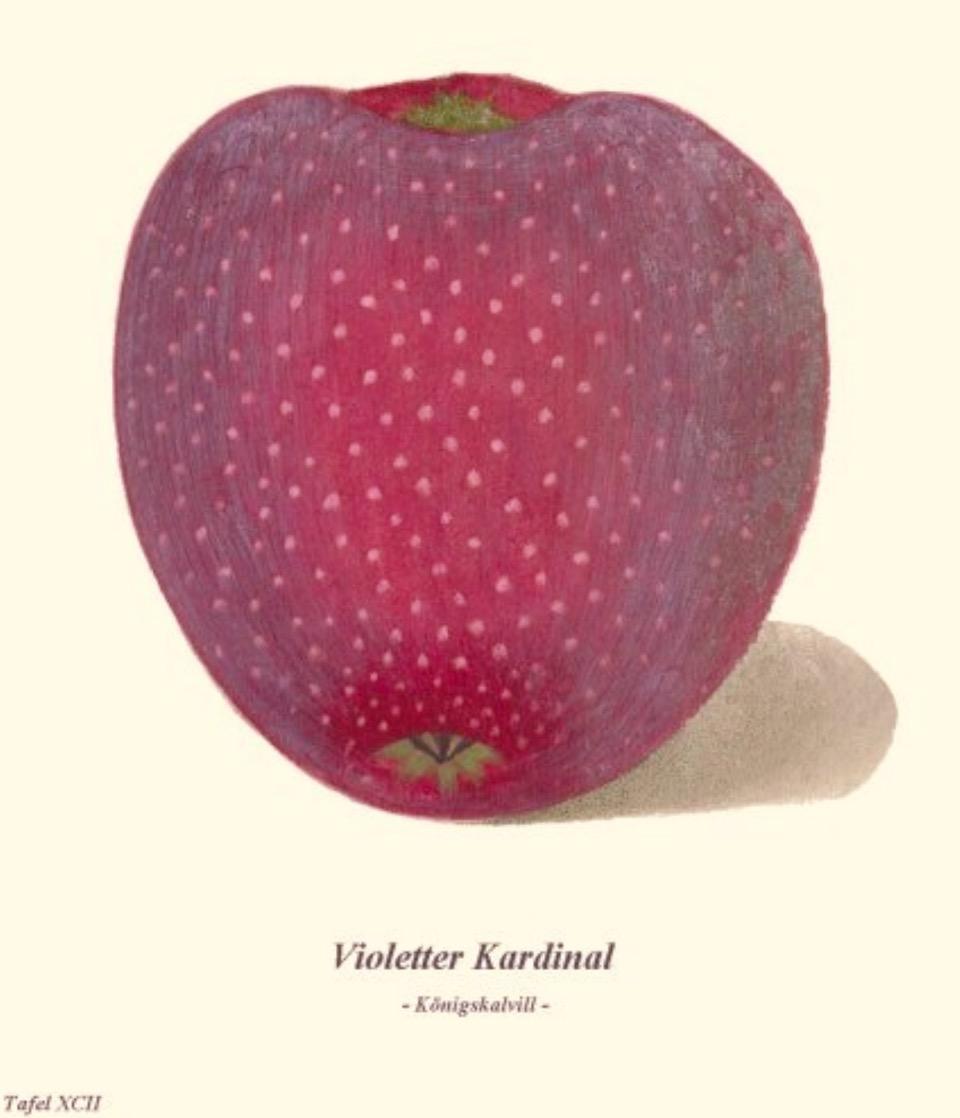 Historische Abbildung eines rot-violetten Apfels; BUND Lemgo