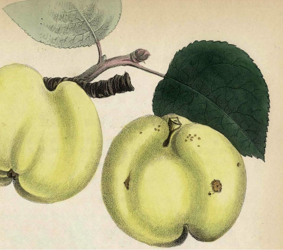 Historische Abbildung zweier grünlicher Äpfel am Zweig mit Blättern; Verlag Hermann Schmidt
