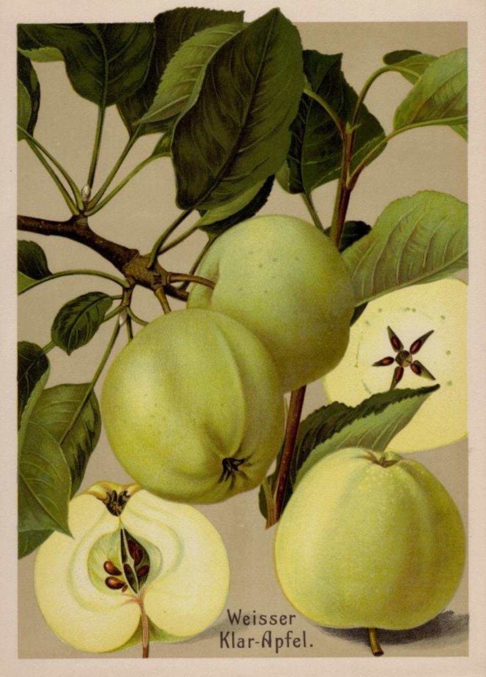 Historische Abbildung von gelblich-grünlichen und aufgeschnittenenee Äpfel mit Zweig und Blättern; BUND Lemgo Obstsortendatenbank