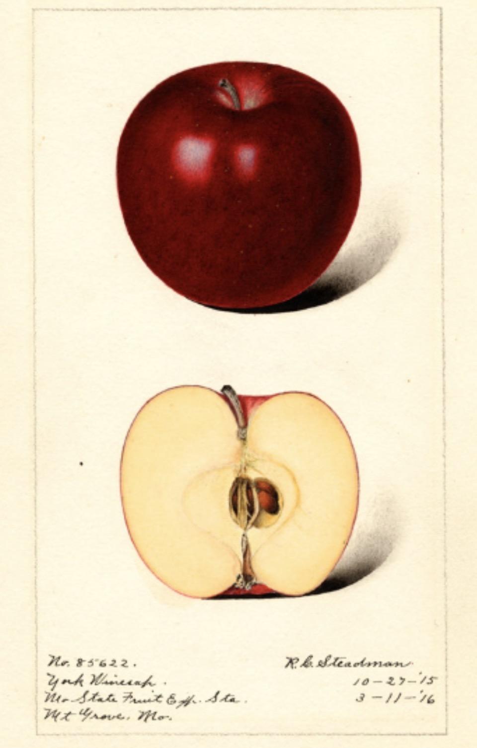 Historische Abbildung eines dunkelroten und eines aufgeschnittenen Apfels; USDA