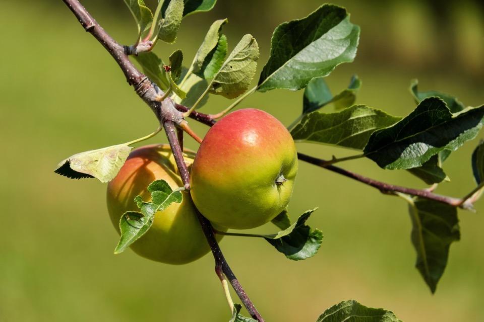 zwei rot-grüne Äpfel am Ast
