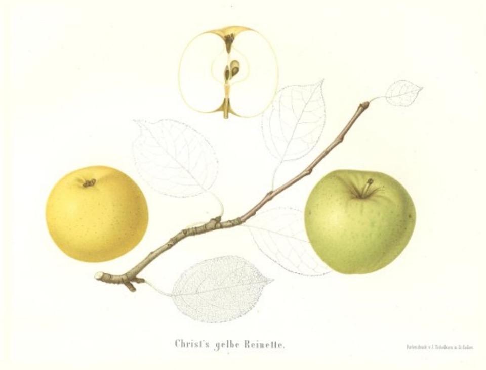 Historische Abbildung zweier gelblich-grüntlicher und eines aufgeschnittenen Apfels; dazu ein Zweig und Blätter; BUND Lemgo Obstsortendatenbank