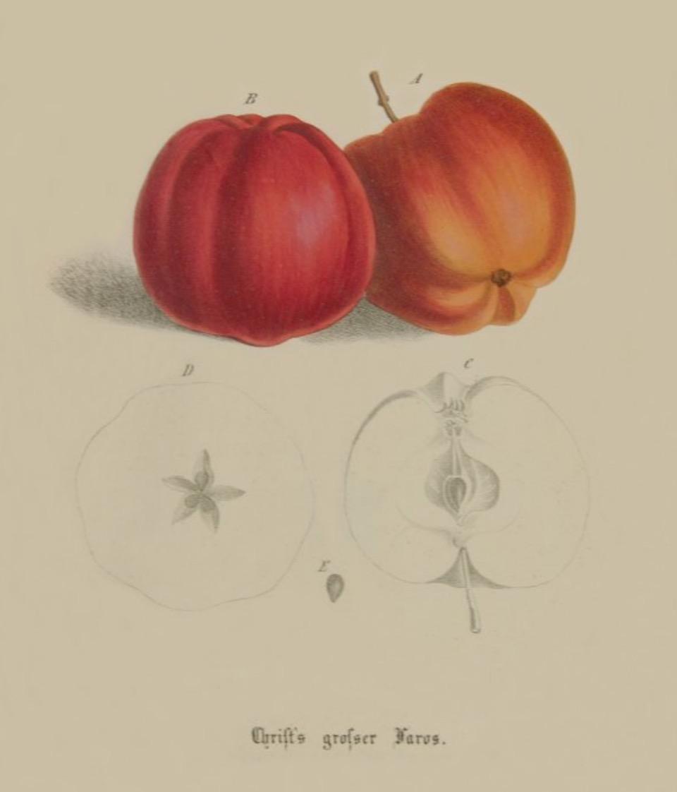 Historische Abbildung zweier roter und zweier aufgeschnittener Äpfel; BUND Lemgo Obstsortendatenbank