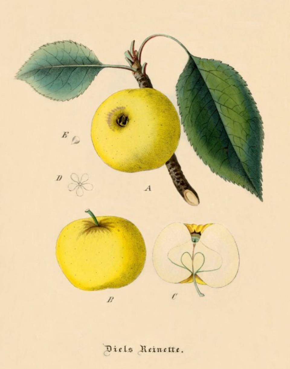Historische Abbildung eines gelben Apfels am Ast mit Blättern, eines gelben Apfels von der Seite, und eines aufgeschnittenen Apfels; BUND Lemgo Obstsortendatenbank