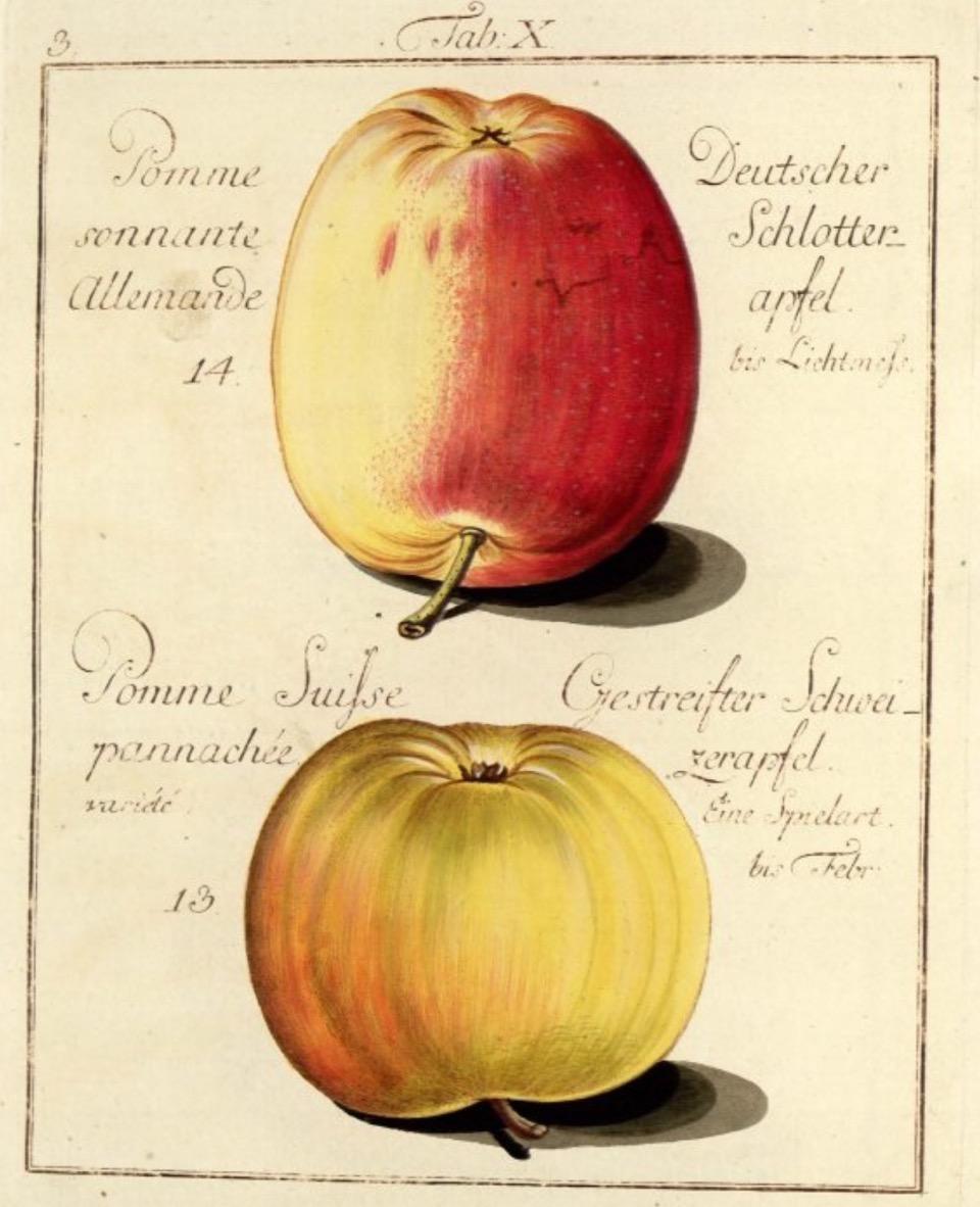 Historische Abbildung zweier gelblich-rötlicher Äpfel; BUND Lemgo Obstsortendatenbank