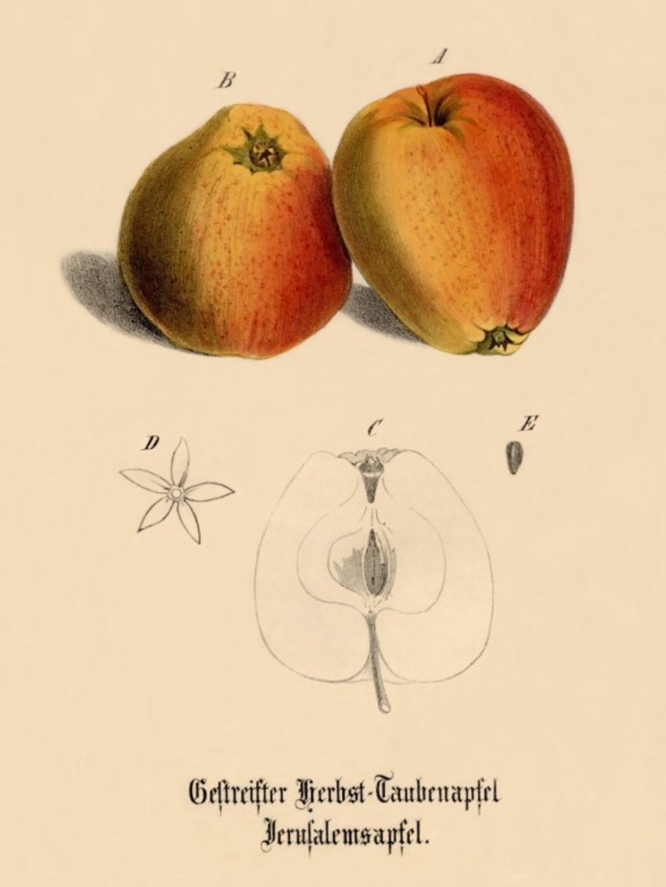 Historische Abbildung zweier gelblich-roter und eines aufgeschnittenen Apfels; BUND Lemgo Obstsortendatenbank