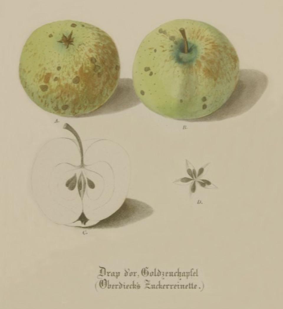 Historische Abbildung zweier grüner und eines aufgeschnittenen Apfels;  BUND Lemgo Obstsortendatenbank