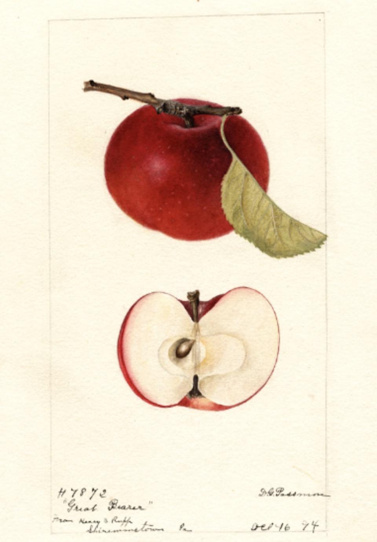 Historische Abbildung eines roten Apfels mit Zweig und Blatt und eines aufgeschnittenen Apfels; USDA