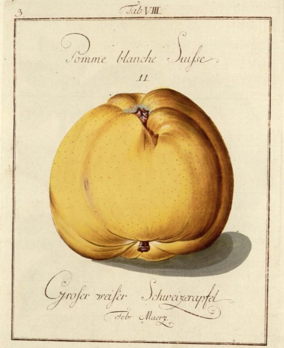 Historische Abbildung eines gelben und eines aufgeschnittenen Apfels; BUND Lemgo, Obstsortendatenbank