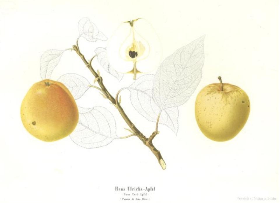 Historische Abbildung zweier gelb-rötlicher und eines aufgeschnittenen Apfels sowie eines Zweigs und Blättern;  BUND Lemgo Obstsortendatenbank