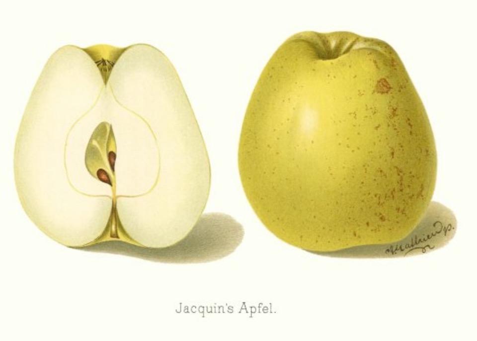 Historische Abbildung eines gelblich-grünen und eines aufgeschnittenen Apfels; BUND Lemgo Obstsortendatenbank