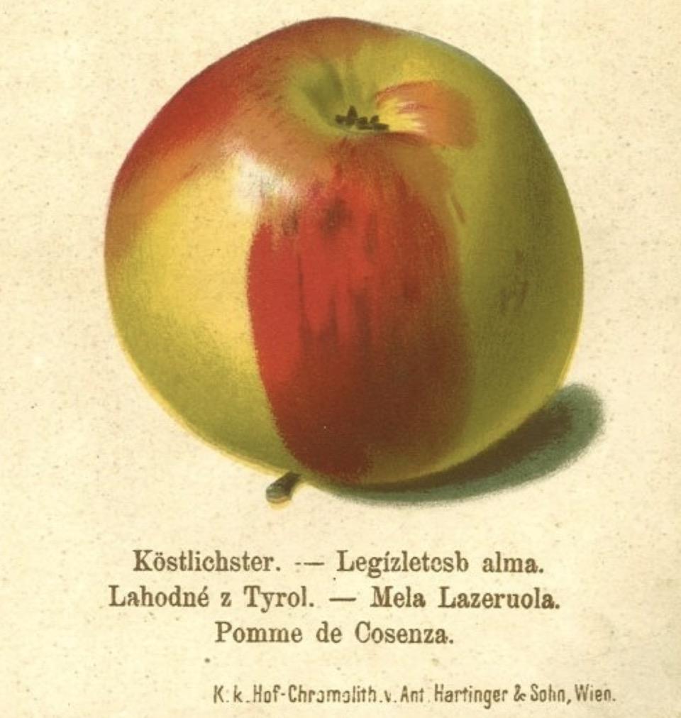 Historische Abbildung eines grün-roten Apfels;  BUND Lemgo Obstsortendatenbank