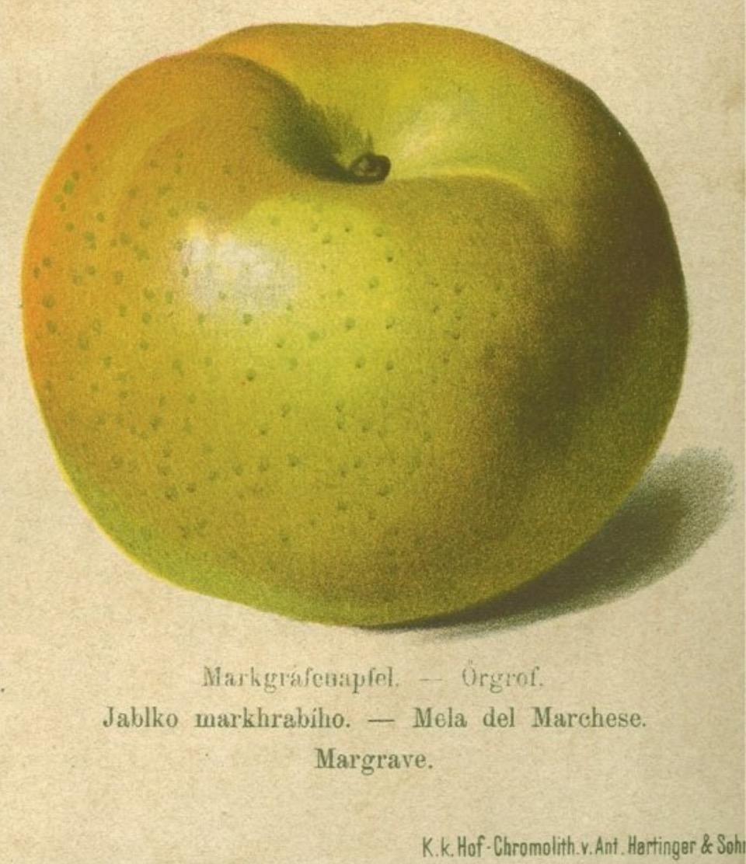 Historische Abbildung eines gelblich-grünen Apfels; BUND Lemgo Obstsortendatenbank