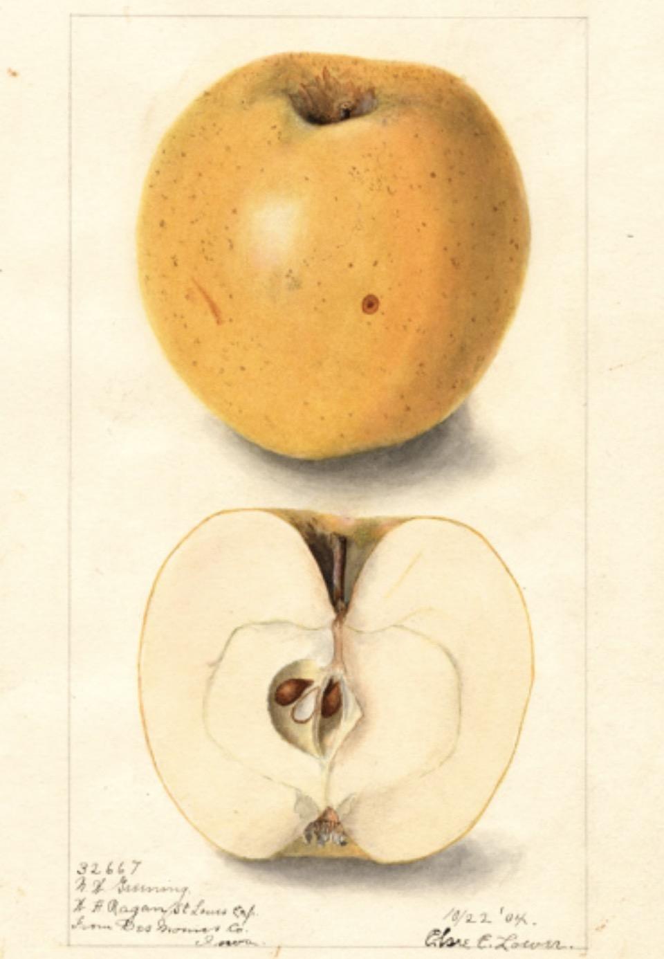 Historische Abbildung eines gelben und eines aufgeschnittenen Apfels; USDA
