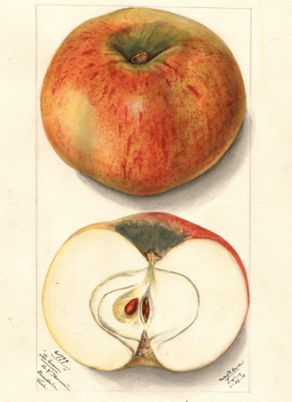 Historische Abbildung eines gelblich-roten und eines aufgeschnittenen Apfels; USDA