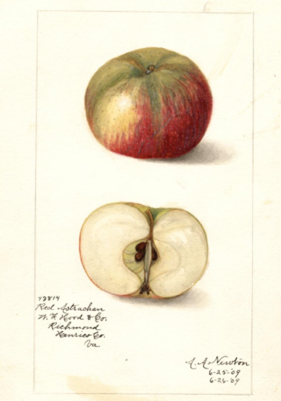 Historische Abbildung eines grünlich-roten und eines aufgeschnittenen Apfels; USDA