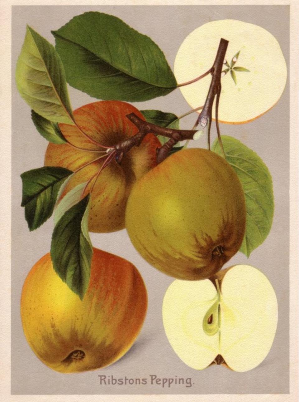Historische Abbildung mehrerer bräunlich-gelbroter Äpfel am Zweig mit Blättern und zweier aufgeschnittener Äpfel; BUND Lemgo Obstsortendatenbank