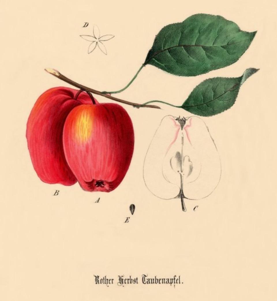Historische Abbildung zweier roter Äpfel an einem Zweig mit Blättern sowie eines aufgeschnittenen Apfels; BUND Lemgo Obstsortendatenbank
