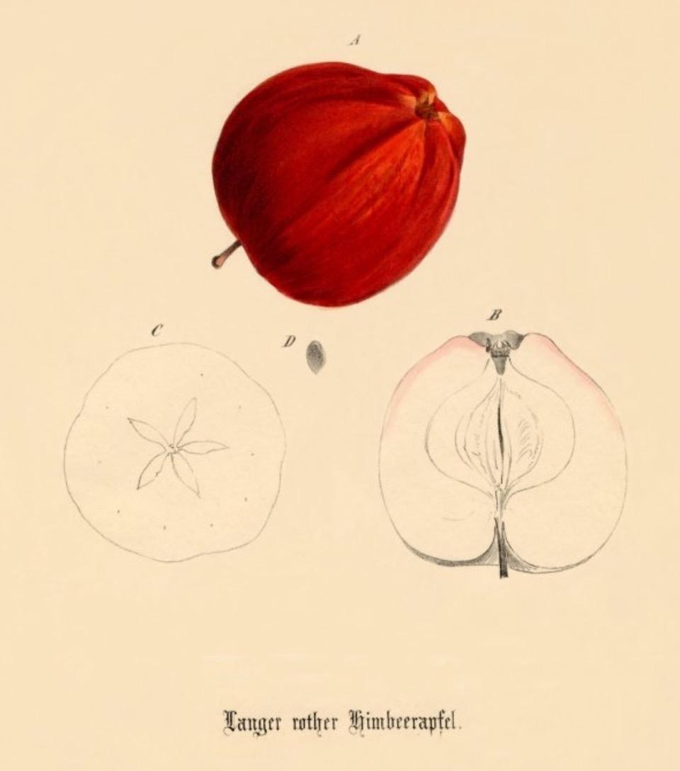 Historische Abbildung eines roten und zweier aufgeschnittenen Äpfel; BUND Lemgo Obstsortendatenbank